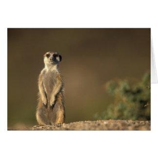 Africa, Namibia, Keetmanshoop, Meerkat (Suricate Card
