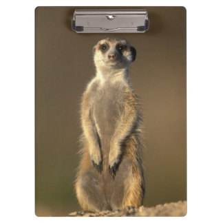 Africa, Namibia, Keetmanshoop, Meerkat (Suricate Clipboard