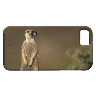 Africa, Namibia, Keetmanshoop, Meerkat (Suricate iPhone 5 Covers