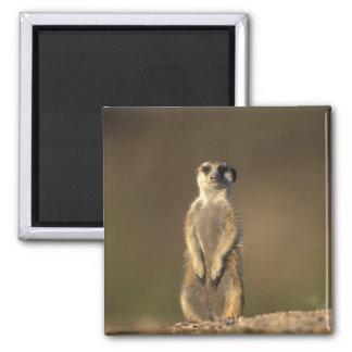 Africa, Namibia, Keetmanshoop, Meerkat (Suricate Magnet