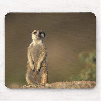 Africa, Namibia, Keetmanshoop, Meerkat (Suricate Mouse Mat