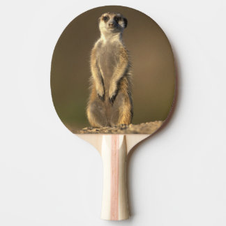 Africa, Namibia, Keetmanshoop, Meerkat (Suricate Ping Pong Paddle