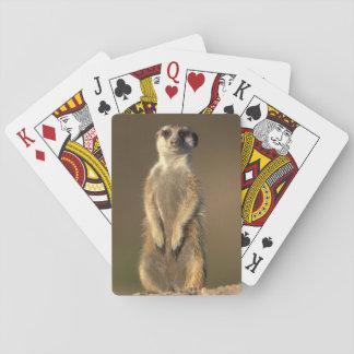 Africa, Namibia, Keetmanshoop, Meerkat (Suricate Playing Cards