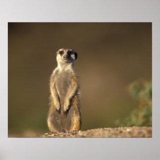 Africa, Namibia, Keetmanshoop, Meerkat (Suricate Poster