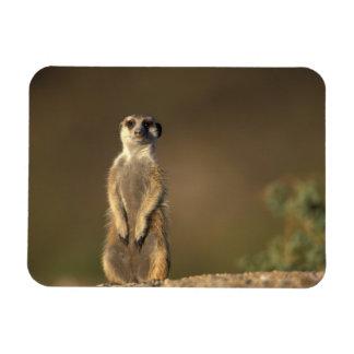 Africa, Namibia, Keetmanshoop, Meerkat (Suricate Rectangular Photo Magnet