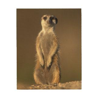 Africa, Namibia, Keetmanshoop, Meerkat (Suricate Wood Canvases