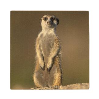 Africa, Namibia, Keetmanshoop, Meerkat (Suricate Wood Coaster