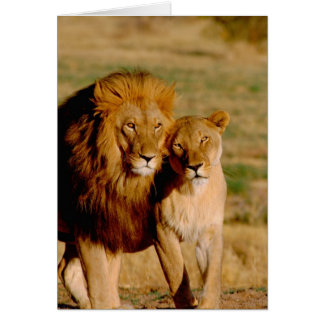 Africa, Namibia, Okonjima. Lion & lioness Card