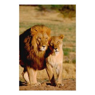 Africa, Namibia, Okonjima. Lion & lioness Photographic Print