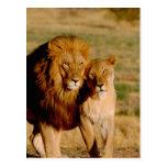 Africa, Namibia, Okonjima. Lion & lioness Post Card