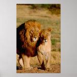 Africa, Namibia, Okonjima. Lion & lioness Poster