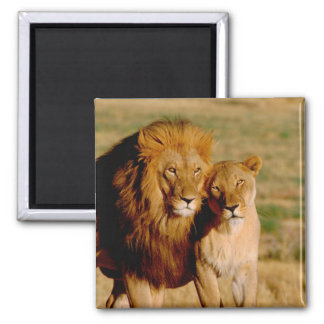 Africa, Namibia, Okonjima. Lion & lioness Square Magnet