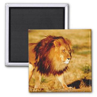 Africa, Namibia, Okonjima. Lone male lion. Magnet