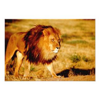 Africa, Namibia, Okonjima. Lone male lion. Photo