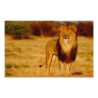 Africa, Namibia, Okonjima. Lone male lion Photo Print