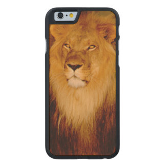 Africa, Namibia, Okonjima. Lone male lion Carved® Maple iPhone 6 Case