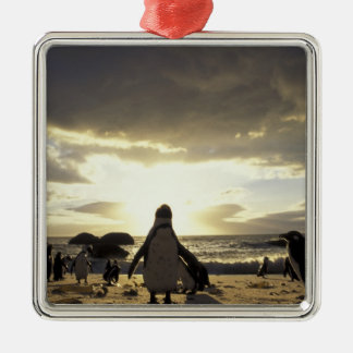 Africa, South Africa Black-footed penguins Silver-Colored Square Decoration