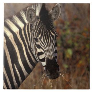Africa, South Africa, Kruger NP Zebra portrait Tile