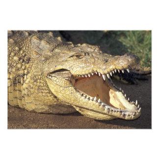 Africa, South Africa Nile crocodile Photo Art