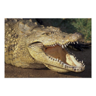 Africa, South Africa Nile crocodile Poster