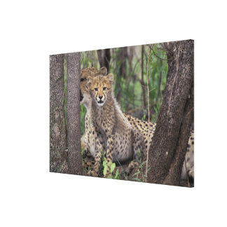 Africa, South Africa, Phinda Preserve. Cheetah Canvas Print
