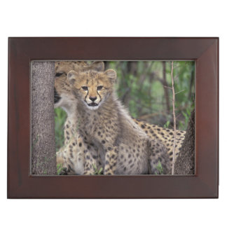 Africa, South Africa, Phinda Preserve. Cheetah Keepsake Box
