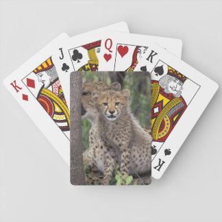 Africa, South Africa, Phinda Preserve. Cheetah Playing Cards
