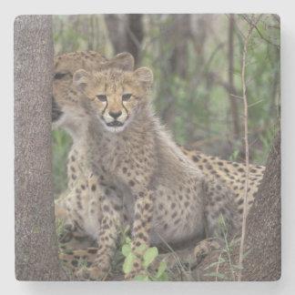 Africa, South Africa, Phinda Preserve. Cheetah Stone Coaster