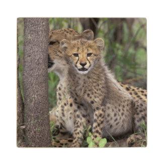 Africa, South Africa, Phinda Preserve. Cheetah Wood Coaster