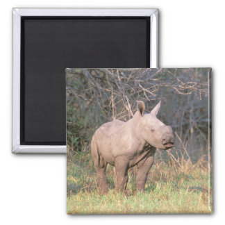 Africa, South Africa, Phinda Preserve. White Square Magnet