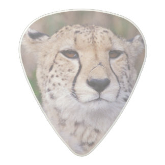 Africa, South Africa, Tswalu Reserve. Cheetahs Acetal Guitar Pick