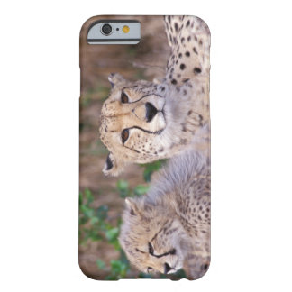 Africa, South Africa, Tswalu Reserve. Cheetahs Barely There iPhone 6 Case