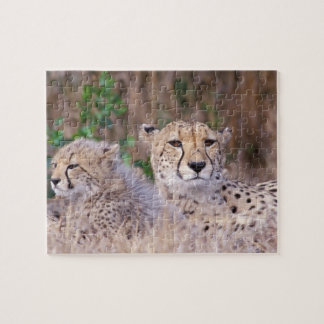 Africa, South Africa, Tswalu Reserve. Cheetahs Jigsaw Puzzle