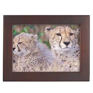 Africa, South Africa, Tswalu Reserve. Cheetahs Keepsake Box