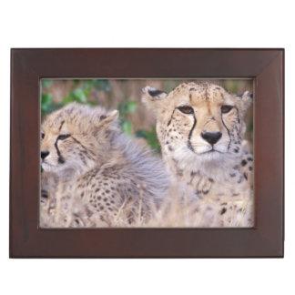 Africa, South Africa, Tswalu Reserve. Cheetahs Memory Box