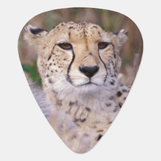 Africa, South Africa, Tswalu Reserve. Cheetahs Plectrum