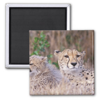 Africa, South Africa, Tswalu Reserve. Cheetahs Square Magnet