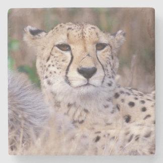 Africa, South Africa, Tswalu Reserve. Cheetahs Stone Coaster