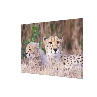 Africa, South Africa, Tswalu Reserve. Cheetahs Stretched Canvas Prints