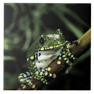 Africa, Tanzania. African big eye tree frog Tile