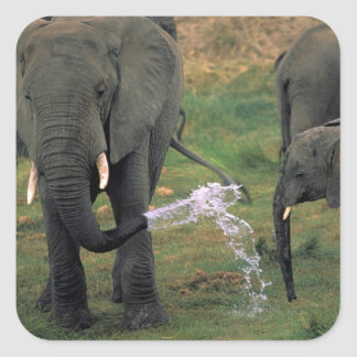 Africa, Tanzania. African elephants, herd with Square Sticker