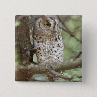 Africa. Tanzania. African Scops Owl at Tarangire 15 Cm Square Badge