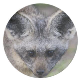 Africa. Tanzania. Bat-Eared Fox at Ndutu in the Plate