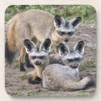 Africa. Tanzania. Bat-Eared Foxes at Ndutu in Beverage Coaster