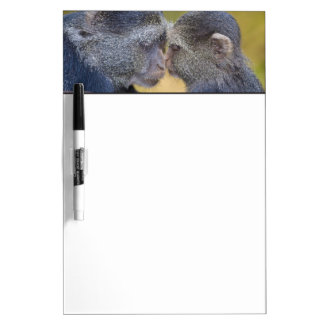 Africa. Tanzania. Blue Monkey mother with young Dry Erase Board