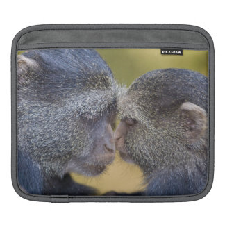 Africa. Tanzania. Blue Monkey mother with young iPad Sleeves