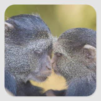 Africa. Tanzania. Blue Monkey mother with young Square Sticker