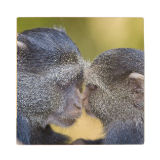Africa. Tanzania. Blue Monkey mother with young Wood Coaster
