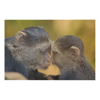 Africa. Tanzania. Blue Monkey mother with young Wood Wall Art