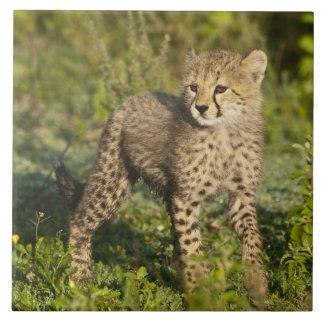 Africa. Tanzania. Cheetah cub at Ndutu in the Large Square Tile